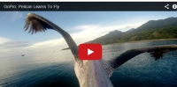 What happens when you put a Go-Pro video camera on a pelican's beak?