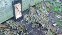 Frogs watching worms on SmartPhone - now we know why viral video works